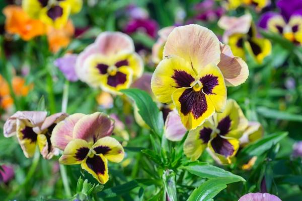 yellow purple flowers in the garden