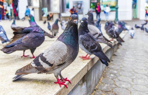 many pigeons birds in city plaza