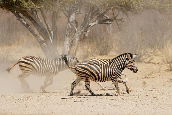 plains zebras running on dusty plains