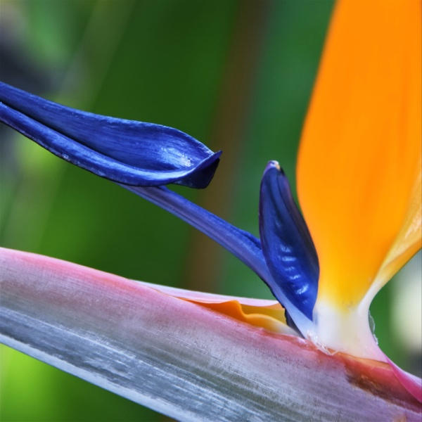 close up of a stelitzia