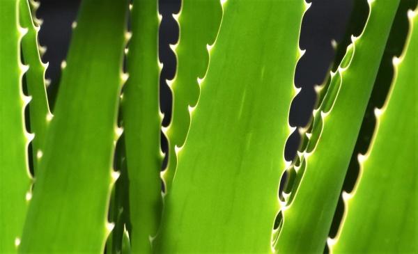 close up of green aloe vera