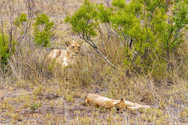 lions mother and child safari kruger