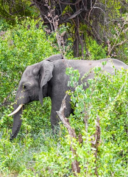big five african elephant kruger national