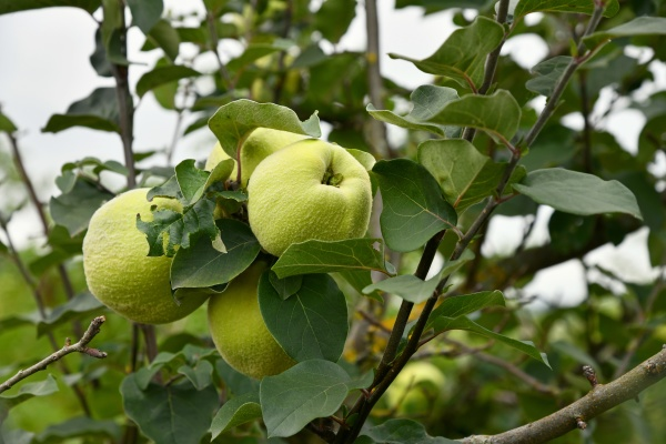 quince tree with ripe fruits