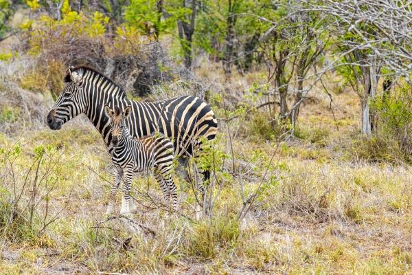 mother and baby zebra kruger national