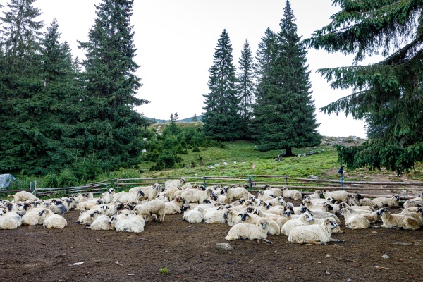 a herd of sheep in the