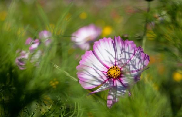 purple white cosmos flower