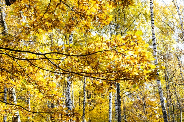 oak branch with yellow foliage and
