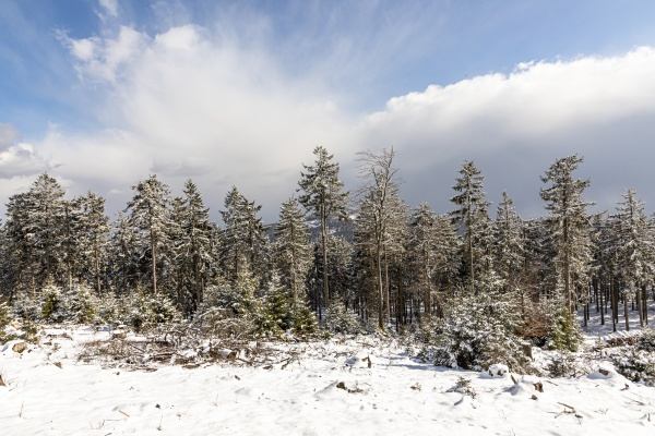 forest in snow at the mountain