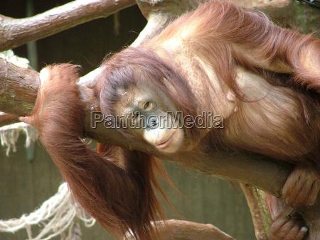 orangutan - 1439