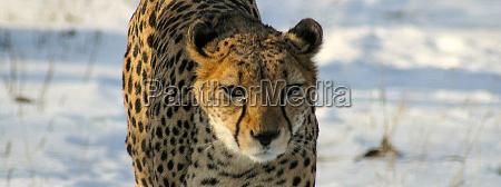 cheetah in snow reload
