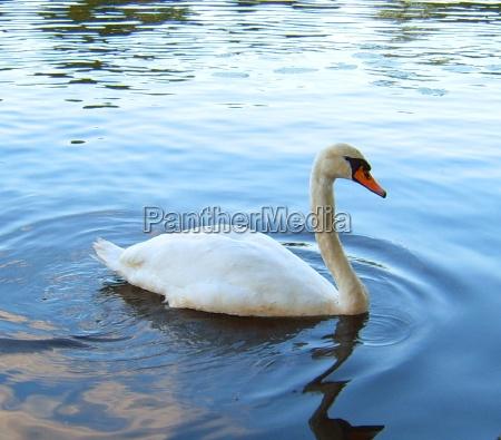 cisne caucasiano bico plumagem bicos agua