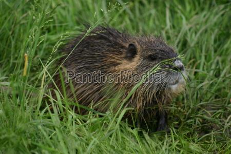 beaver, - 105142