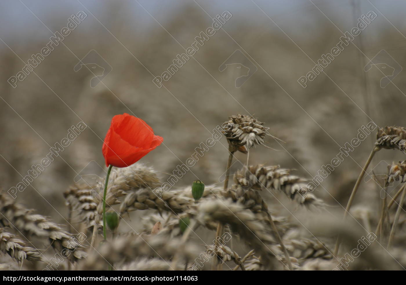 poppies, in, wheat, field - 114063