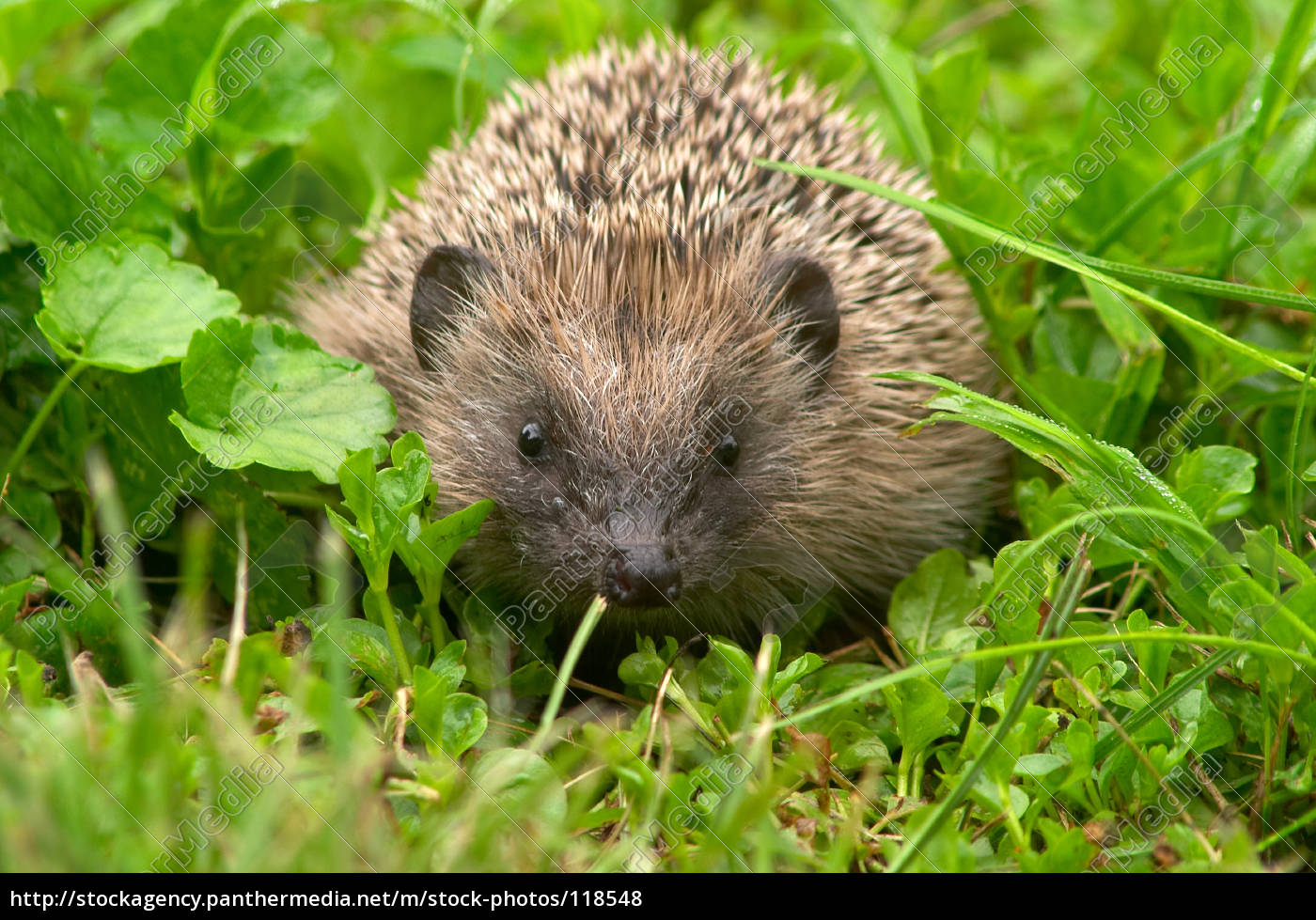 young, hedgehog - 118548