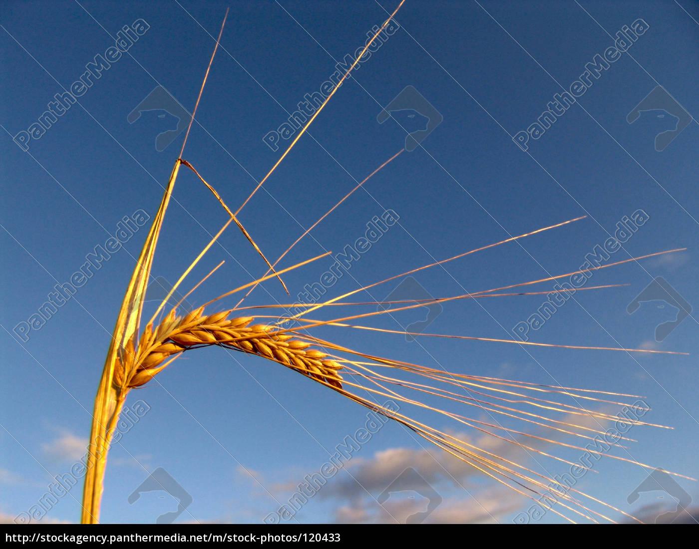 harvest, time - 120433