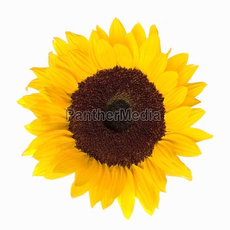 sunflower - 120988