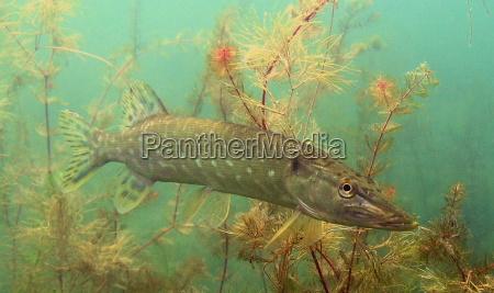 pike freshwater predators