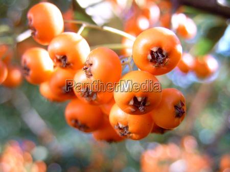 raspberry mountain ash lat sorbus aucupa
