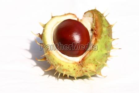 chestnut - 136622