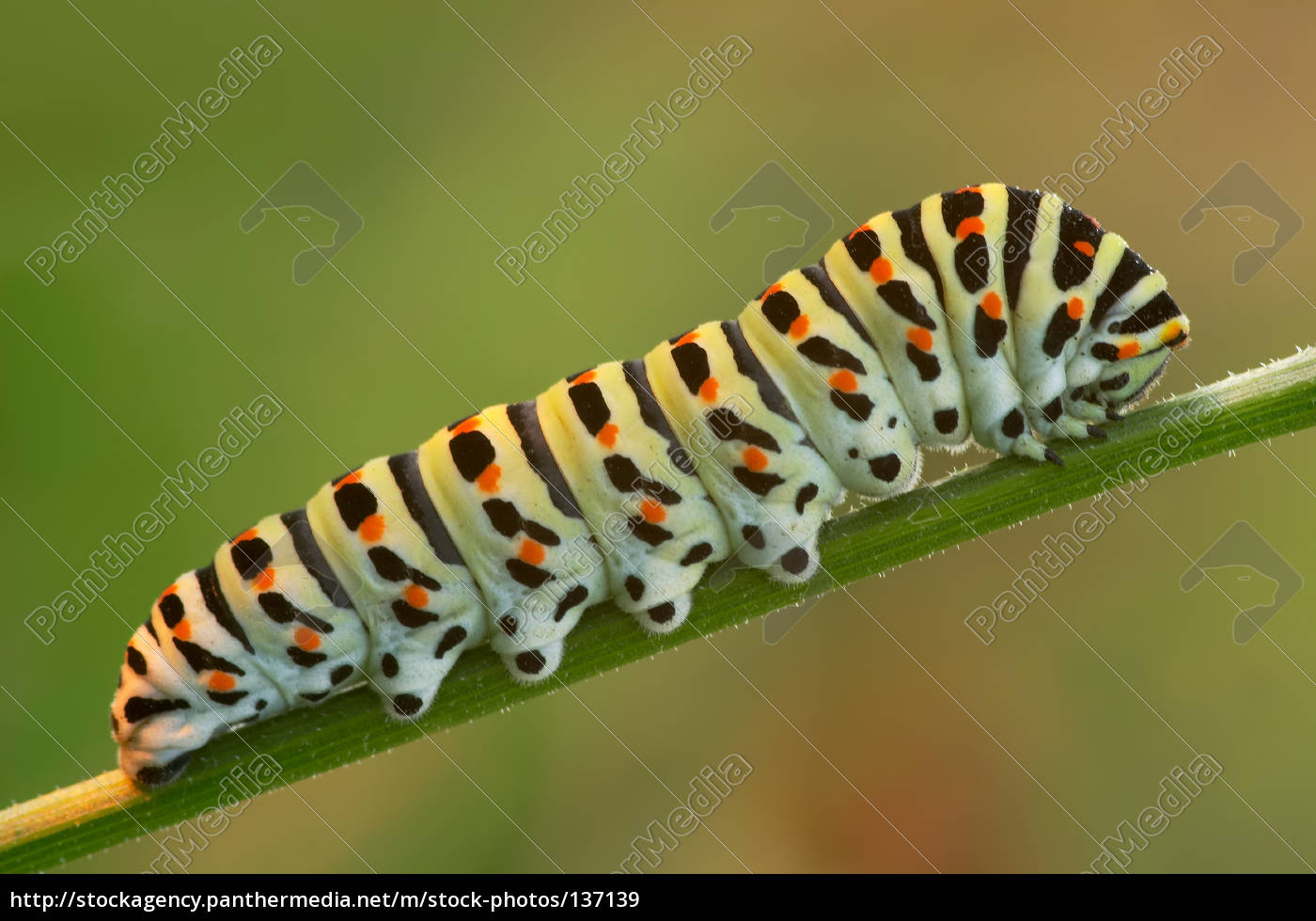 caterpillar, of, the, swallowtail - 137139
