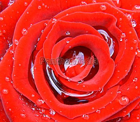 close up jardim flor rosa planta