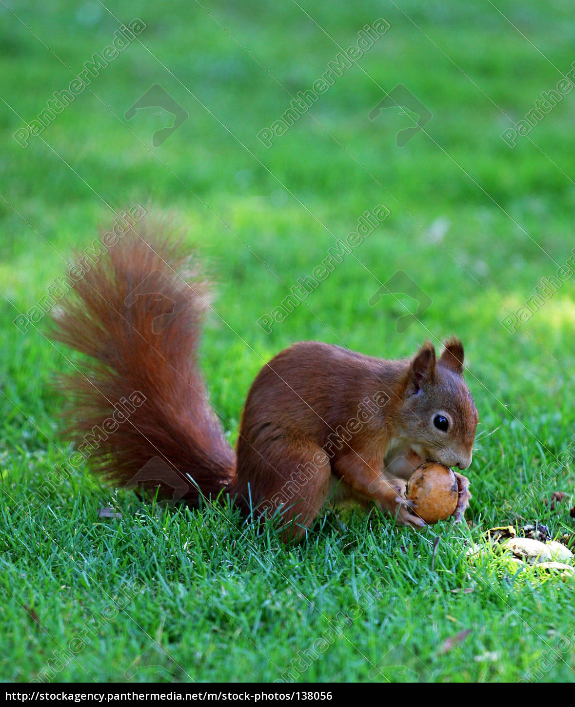 Royalty free photo 138056 - squirrel at work