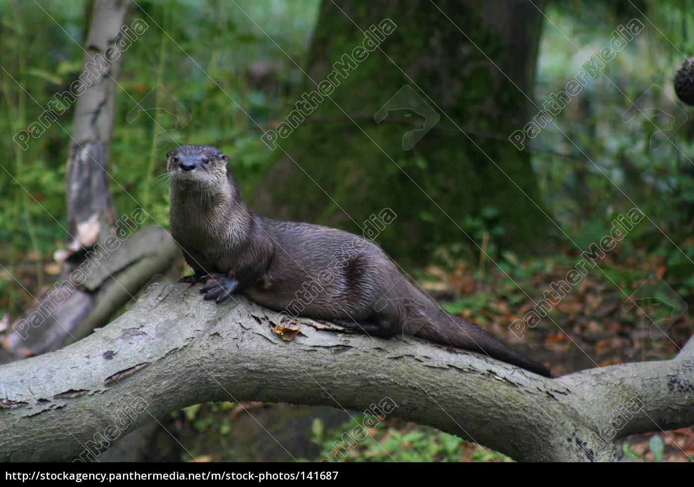 otters, 1 - 141687