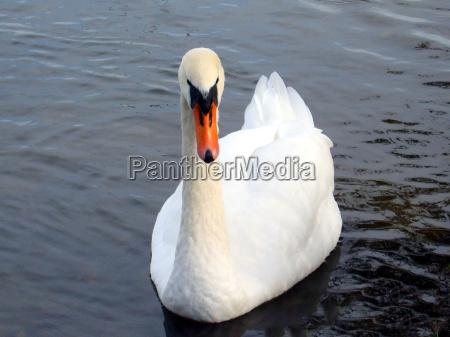 cisne olhos caucasiano bico plumagem agua