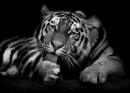 tiger, sw - 149778
