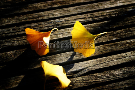 ginkgo leaves on wood