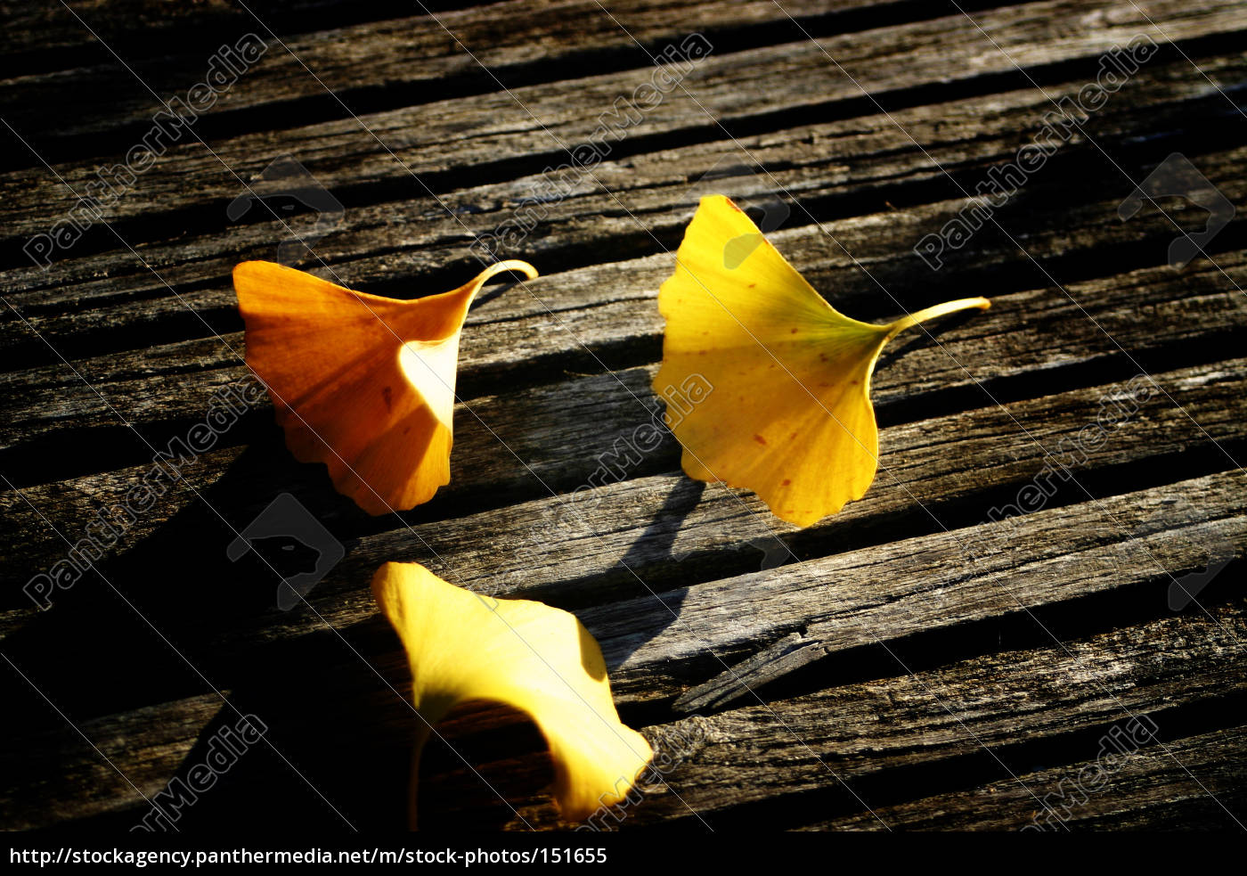 ginkgo, leaves, on, wood - 151655