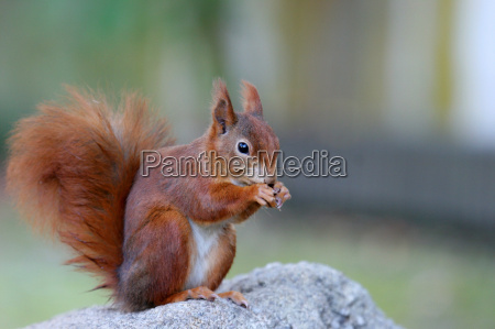 verfressenes, squirrel - 153009