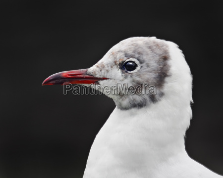 gulls, portrait - 159038