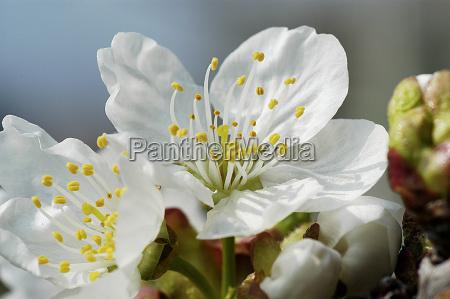 apfelblüte, 9 - 168732