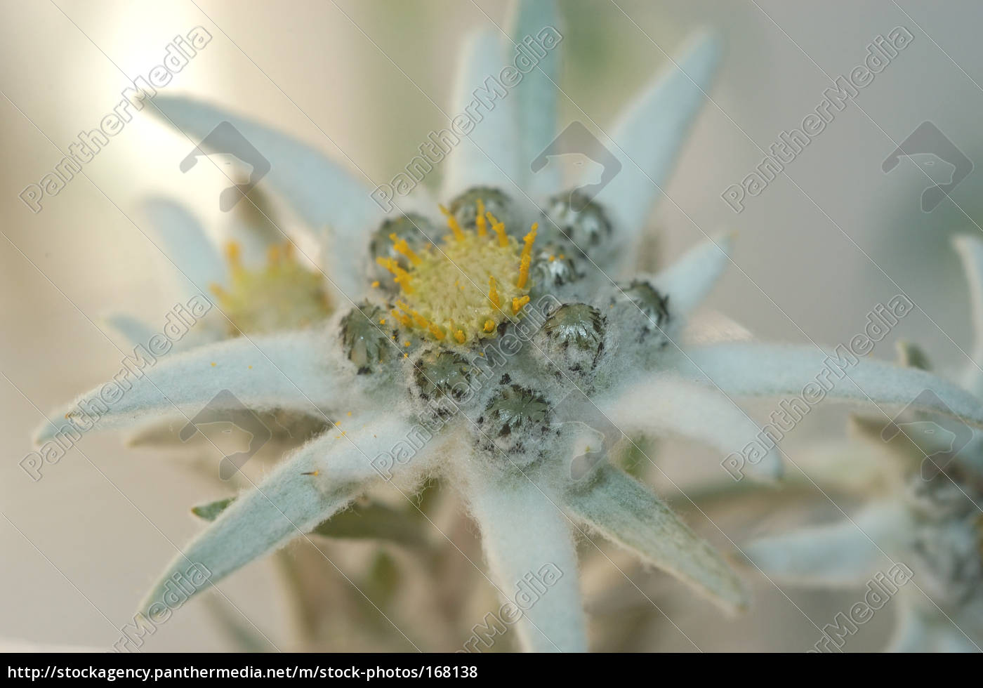 edelweiss, 2 - 168138