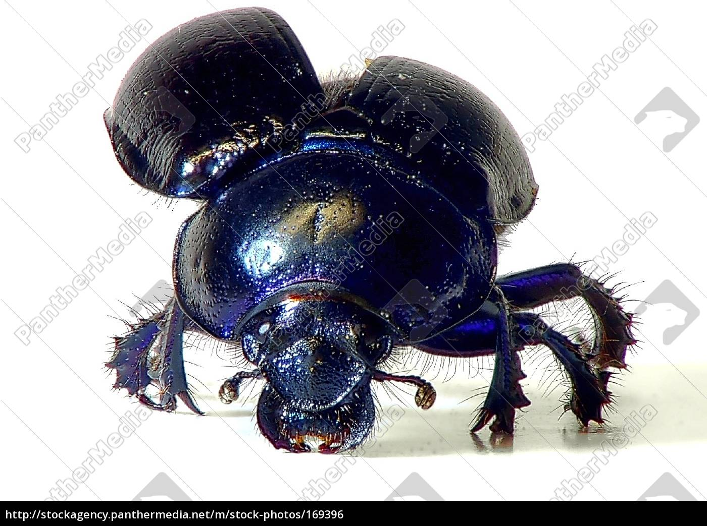 dung, beetle, is, attacking - 169396