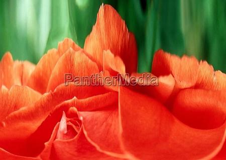 rose, landscape - 170770