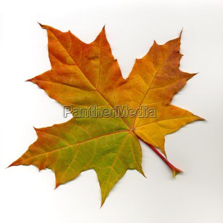 maple, leaf, 2 - 171087