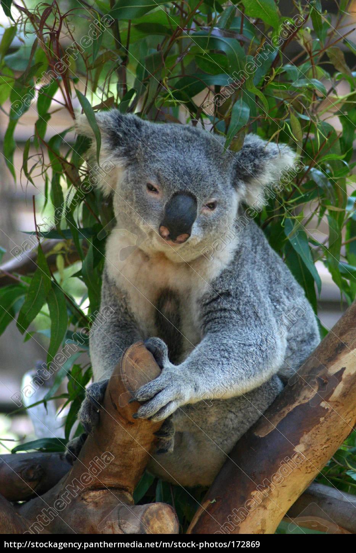 koala, 2 - 172869
