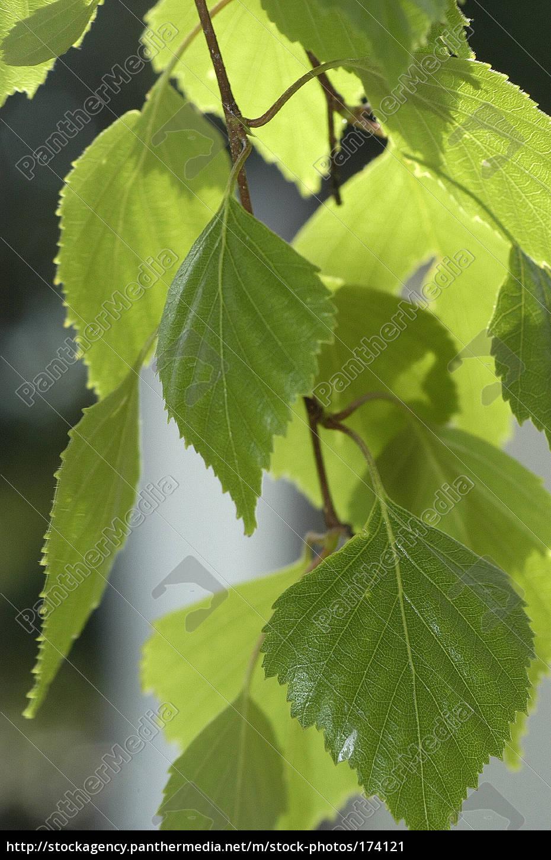 birch, leaves - 174121