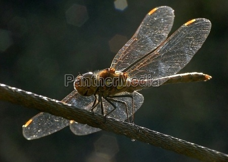 dragonfly backlit