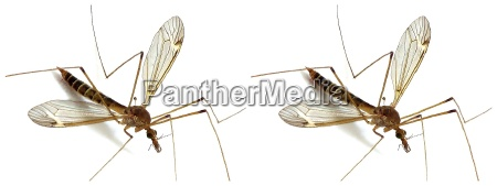 crane fly 3d cross eyed