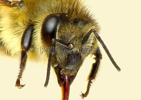 bee portrait