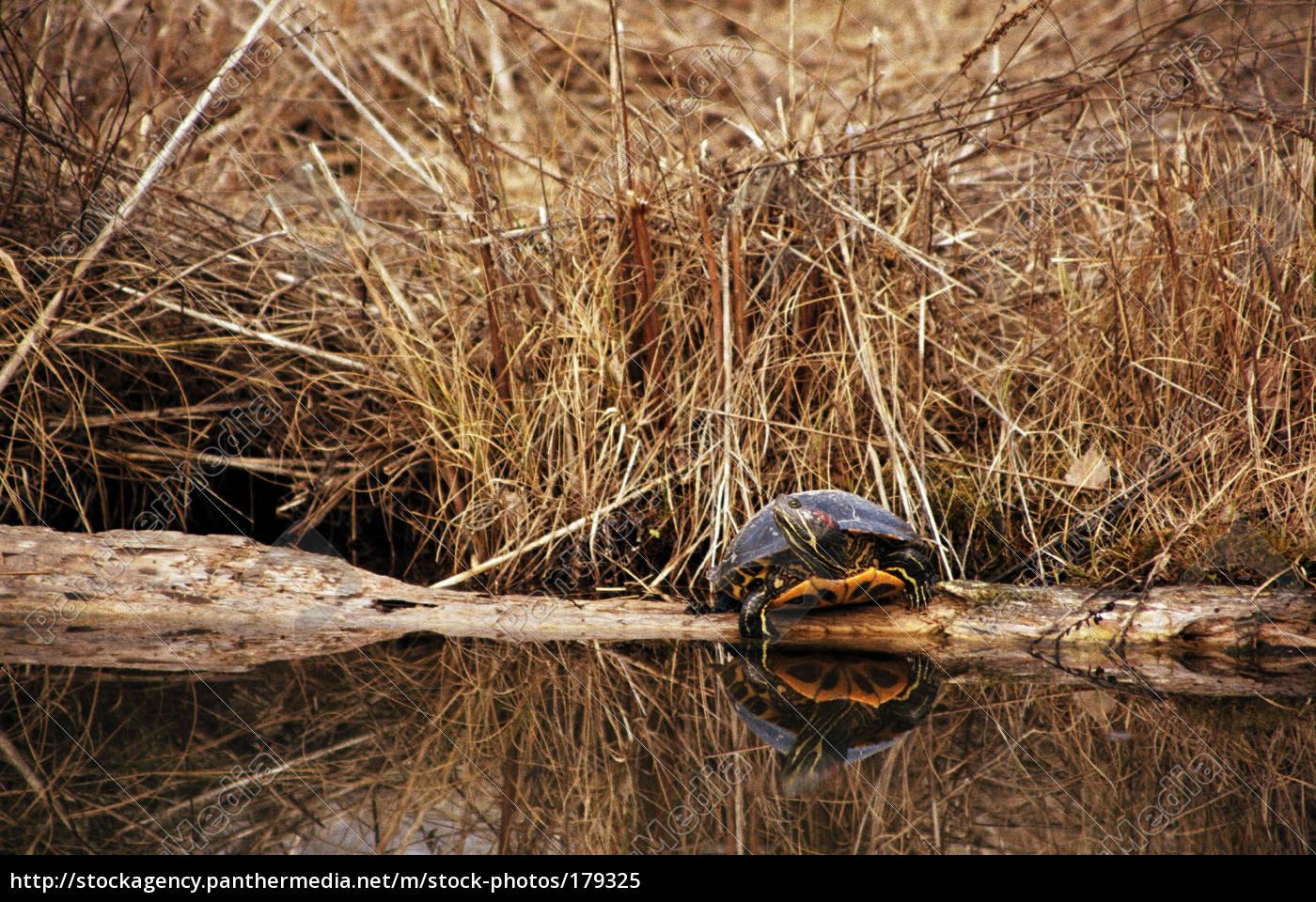 turtle - 179325