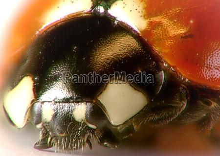 ladybugportrait