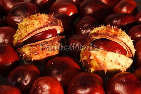 chestnut 05
