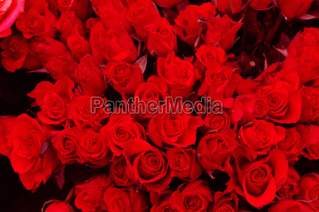 red, roses - 193516