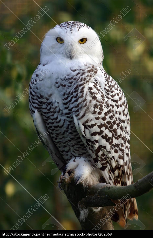 Royalty free photo 202068 - snow owl