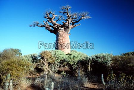 baobab - 203597